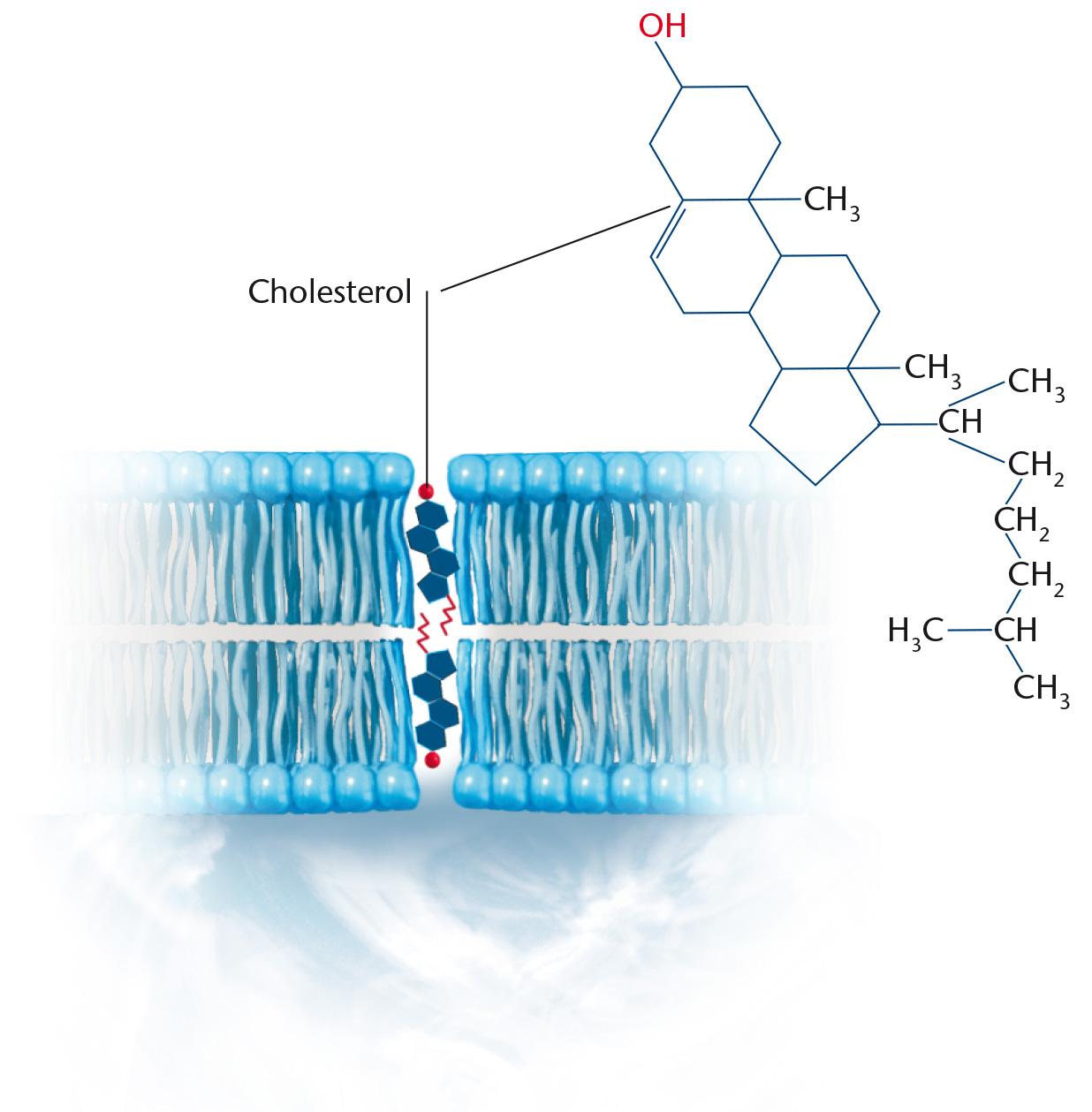 cellemembranens opbygning