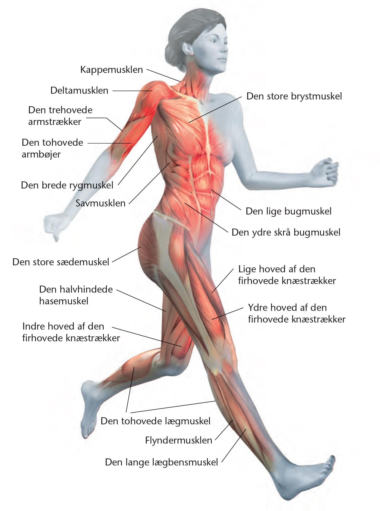 kroppens opbygning
